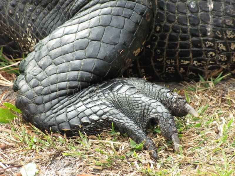 Piede e piedino posteriori del coccodrillo fotografia stock