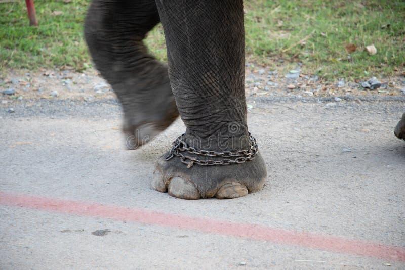 Piedi dell'elefante con le catene nel moto fotografia stock libera da diritti