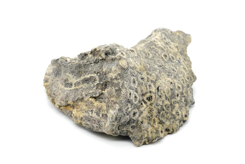 Piedra coralina fosilizada en el fondo aislado blanco imágenes de archivo libres de regalías