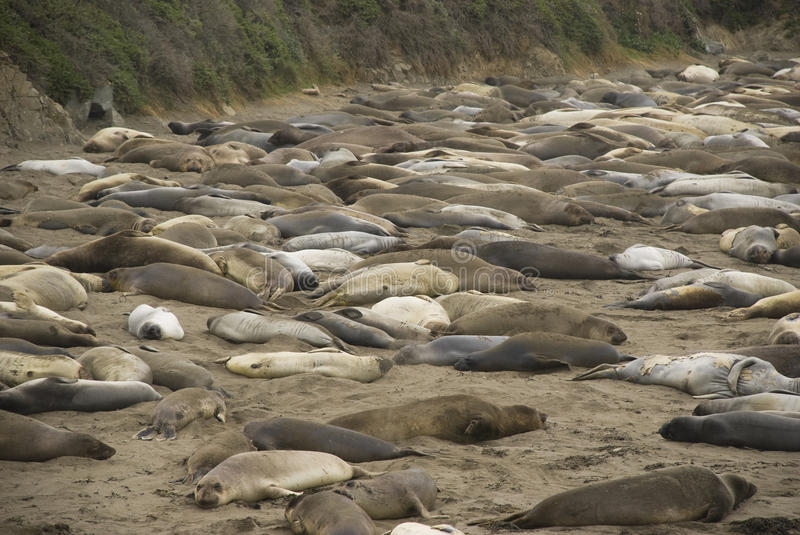 Piedras Blancas Elephant Seal Rookery near San Simeon, California stock photography