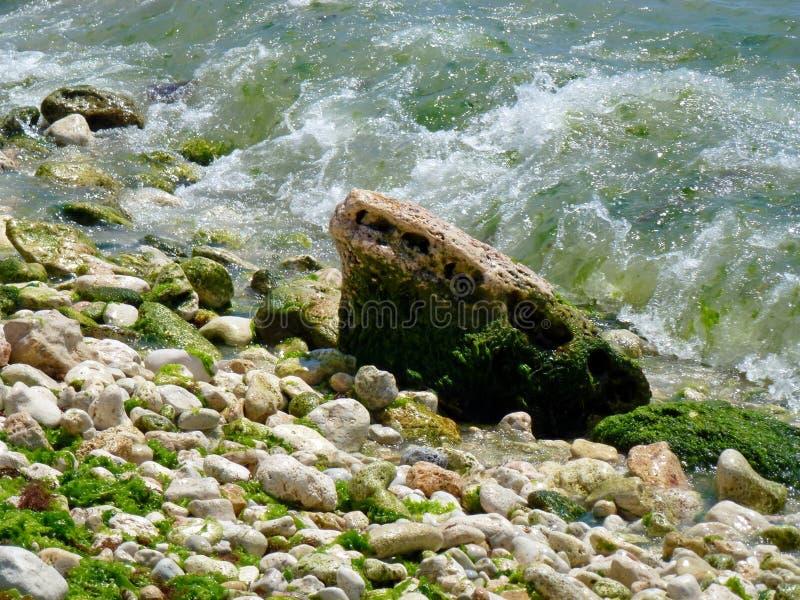 Piedras mojadas hermosas y alga marina verde clara por el mar seaweed foto de archivo libre de regalías