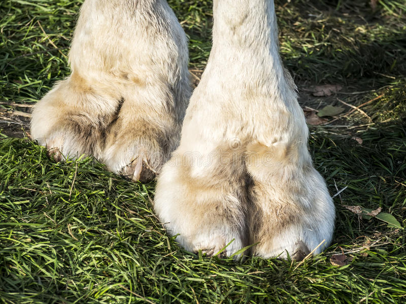 Pieds de chameau image libre de droits
