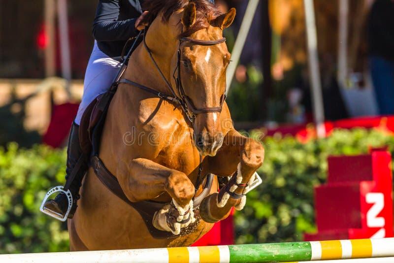 Pieds de tête de cheval sautant l'action de plan rapproché de Polonais photographie stock