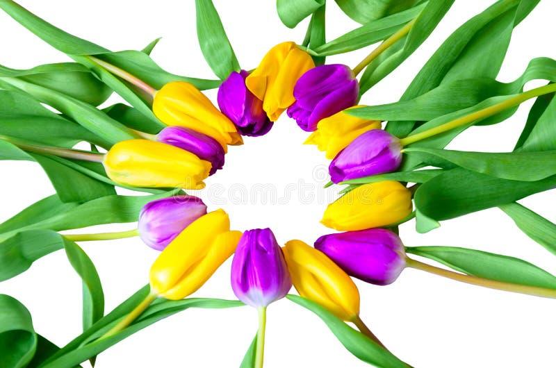 Piegato in un cerchio del primo piano giallo e porpora dei tulipani isolato su fondo bianco fotografia stock