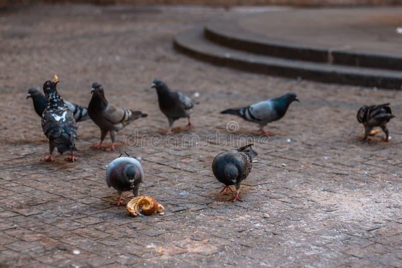 Piegons eating `trdlo`. Piegons eating traditional czech food `trdlo`/`trdelnik` in centre of Prague royalty free stock photo