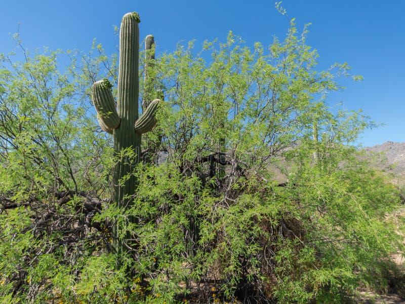 Pielęgniarek drzewa, Saguaro park narodowy fotografia stock