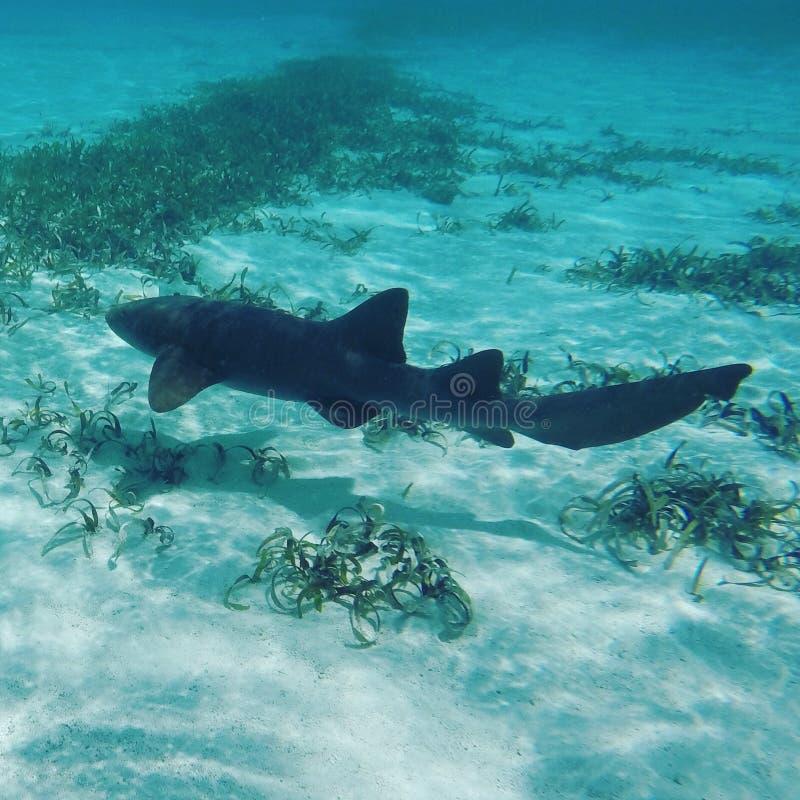 Pielęgniarka rekin w Belize obrazy royalty free