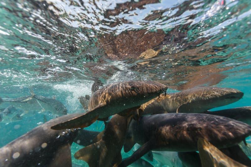 Pielęgniarka rekinu żywieniowy szaleństwo zdjęcia stock