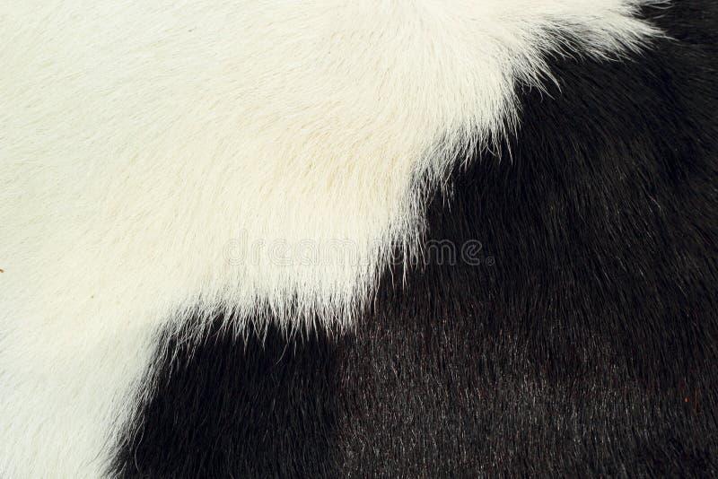 Piel blanca y negra de la vaca del fondo. imagen de archivo