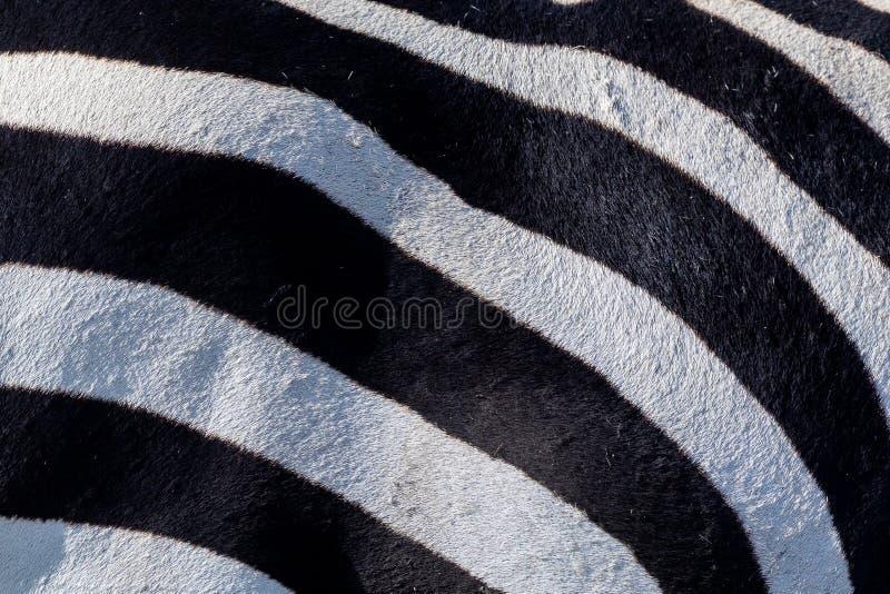 Piel blanco y negro de la cebra imagenes de archivo