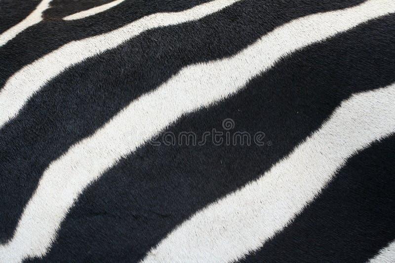 Piel de la cebra. foto de archivo