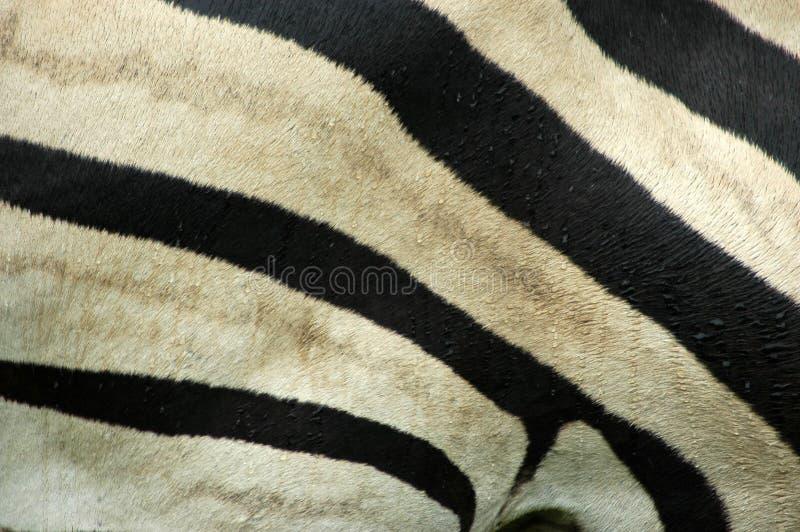 Piel de la cebra fotografía de archivo