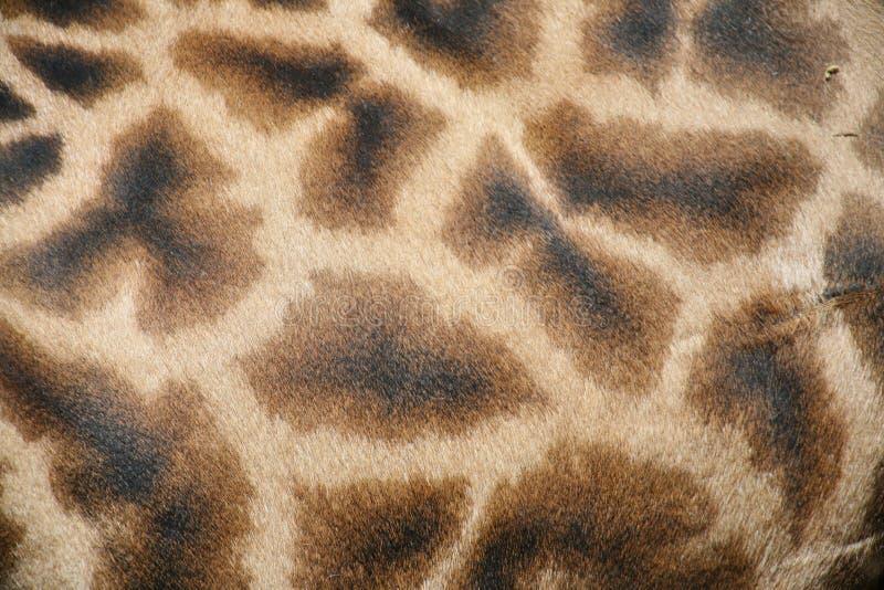 Piel de la jirafa imagen de archivo libre de regalías