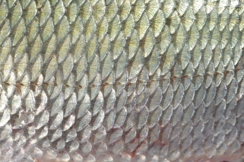 Piel de los pescados del fondo imagen de archivo libre de regalías