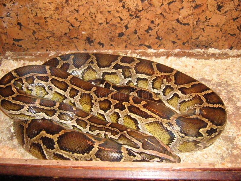 Piel de serpiente grande del reptil de la boa de la serpiente de Python fotografía de archivo libre de regalías