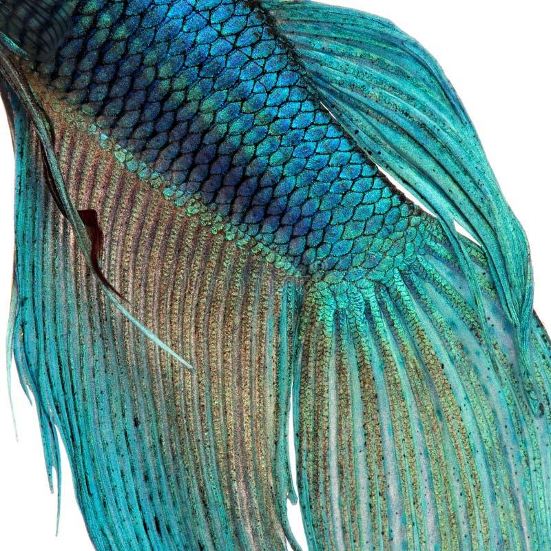 Piel de un pescado siamés azul de la lucha fotos de archivo