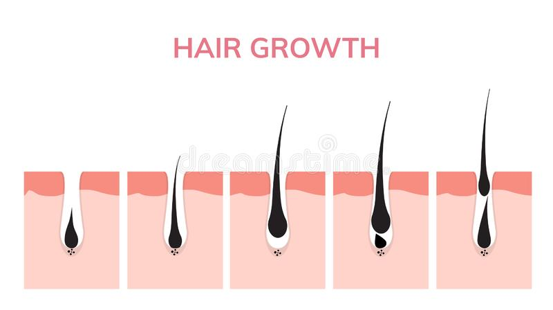 Piel del ciclo de crecimiento del pelo Fase del anagen de la anatomía del folículo, ejemplo del diagrama del crecimiento del pelo libre illustration