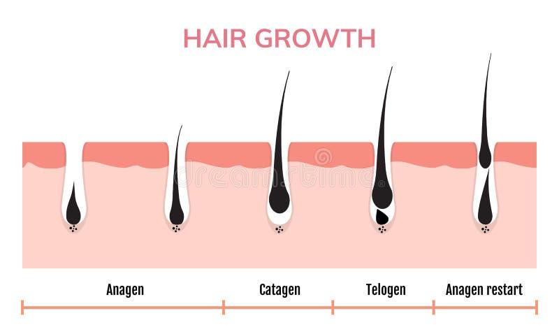 Piel del ciclo de crecimiento del pelo Fase del anagen de la anatom?a del fol?culo, ejemplo del diagrama del crecimiento del pelo libre illustration