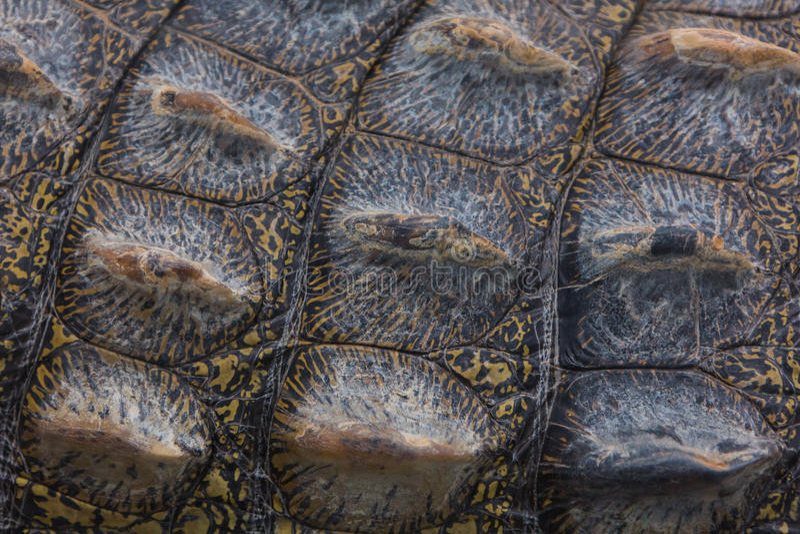 Piel del cocodrilo imágenes de archivo libres de regalías