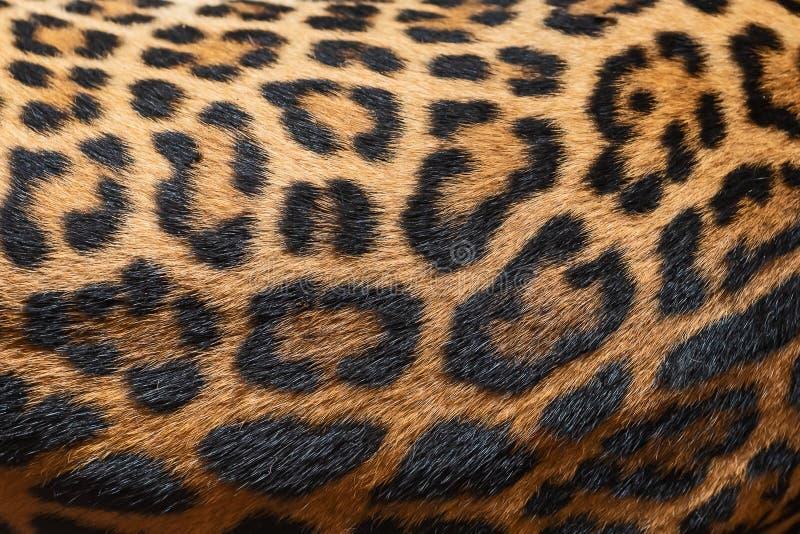 Piel del detalle del leopardo imagen de archivo