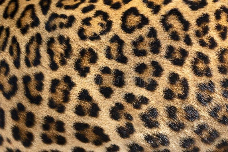 Piel del detalle del leopardo foto de archivo libre de regalías