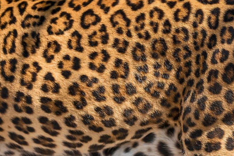 Piel del detalle del leopardo imagen de archivo libre de regalías