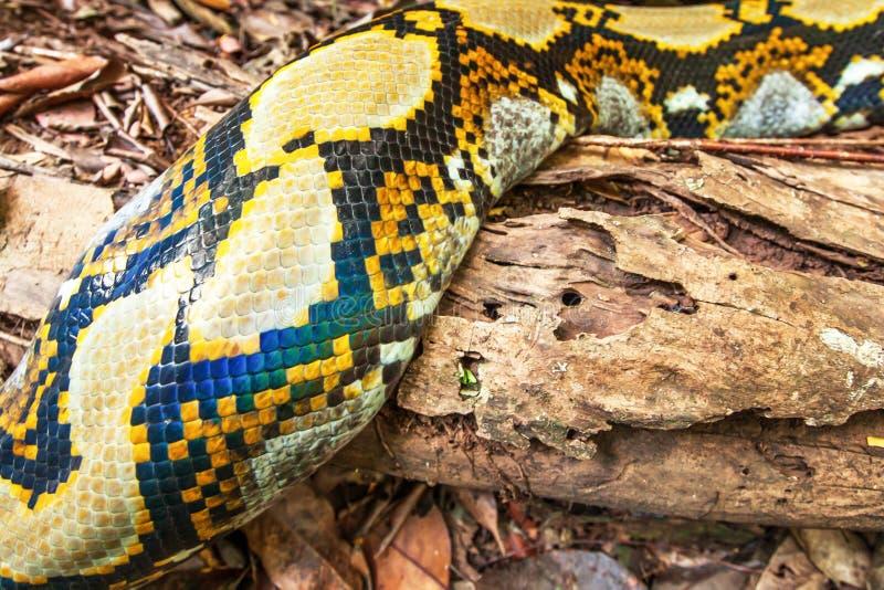 Piel mágica de la boa en la clave un bosque tropical fotos de archivo libres de regalías