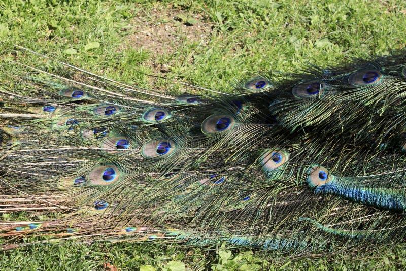 Piemonte. Stresa (VCO), Italy - June 02, 2018: Peafowl plumage, Villa Pallavicino, Stresa, Verbano-Cusio-Ossola, Piedmont, Italy royalty free stock photos