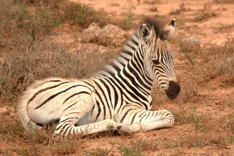 Piena salma di zebra in riposo fotografie stock