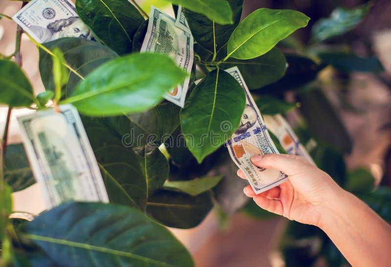 Pieniądze drzewo z dolarowymi rachunkami na liściach ręka zbiera Mon zdjęcie royalty free