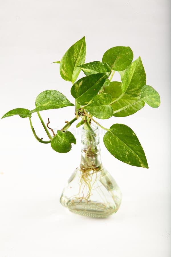 Pieniądze roślina w wodzie zdjęcie royalty free