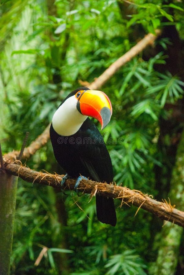 Pieprzojad w lesie tropikalnym z drzewem i ulistnieniem w ranku po rain Iguazu ptaka park Brazylia fotografia royalty free