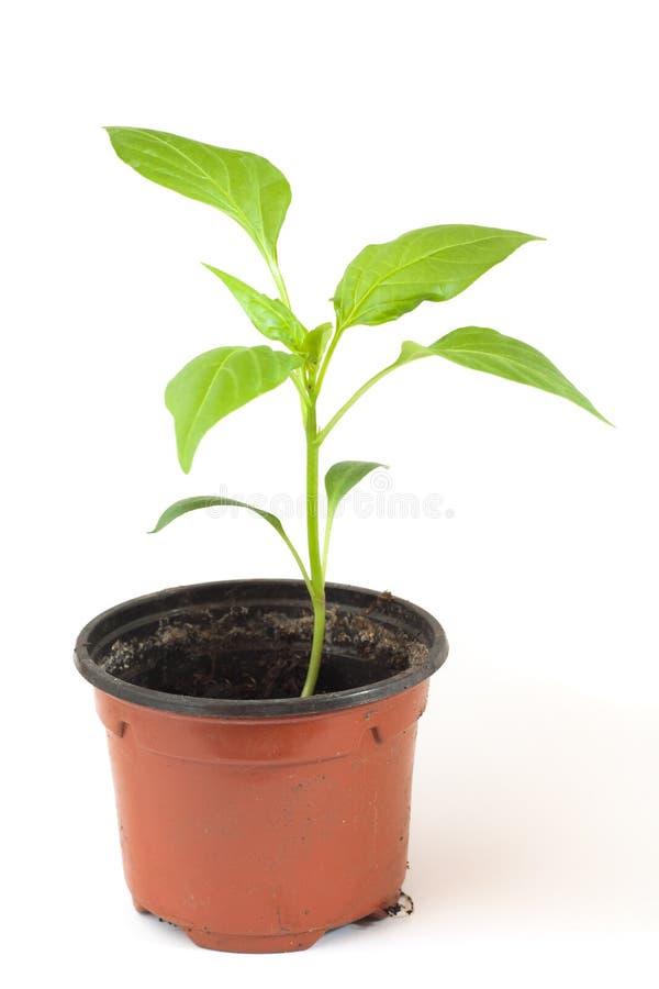 Pieprzowa roślina obraz stock