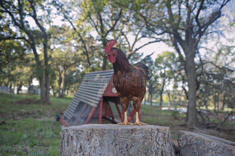 Pieprzy koguta nadzoruje jego gospodarstwo rolne zdjęcia royalty free