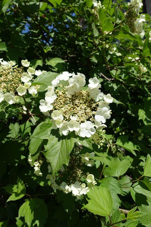 Pierścionek zewnętrzni bezpłodni kwiaty otacza centrum mali żyźni kwiaty Viburnum opulus obraz royalty free