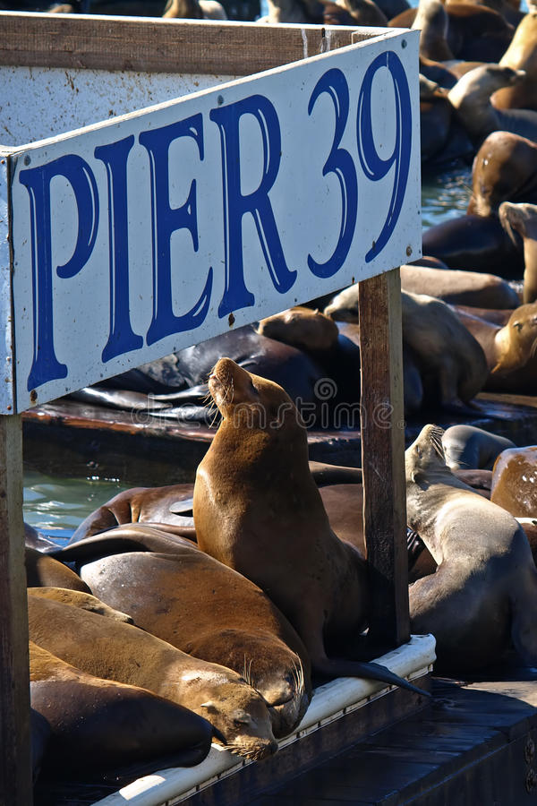 Download PIER 39 & Sea lion stock photo. Image of environment - 11145988