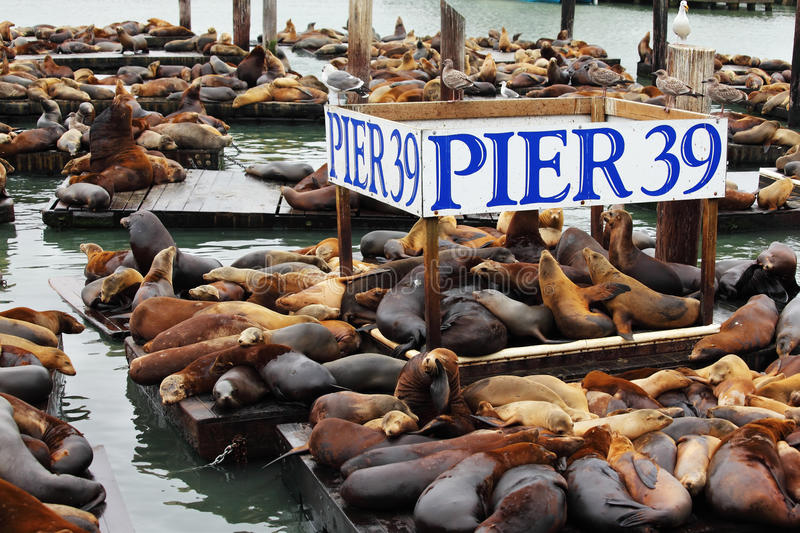 The Pier 39 with sea lions. royalty free stock image
