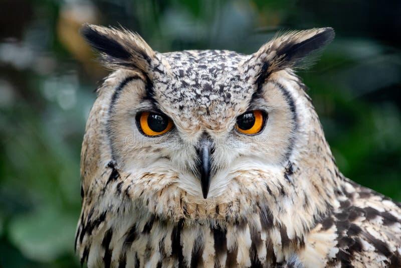 Piercing eyes, intense staring of a European eagle-owl, Bubo bubo. Intense stare of a european eagle-owl, Bubo bubo, symbol of wisdom royalty free stock photography