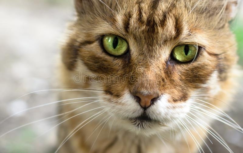 A piercing portrait of a ginger cat with bright eyes stock image