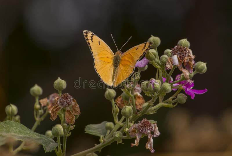 Pieridae (Colotis fausta) is common in North Africa, the Middle East and southern Asia. stock photos