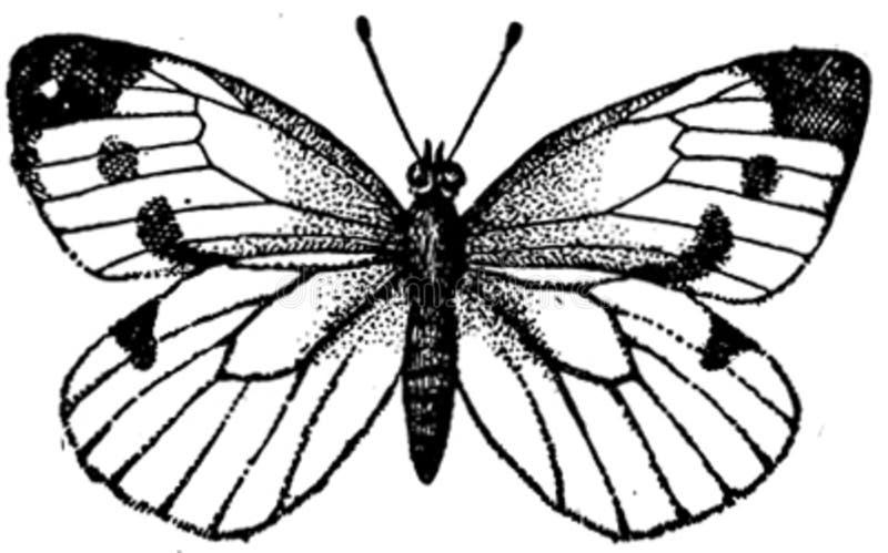Pieride-navet-0a Free Public Domain Cc0 Image
