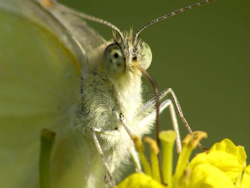 Pieris brassicae粉蝶 免版税库存图片