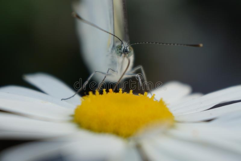 Pieris brassicae butterfly collects nectar from a daisy flower macro. Pieris brassicae butterfly on chamomile flower. proboscis collects nectar. Close-up eyes stock image