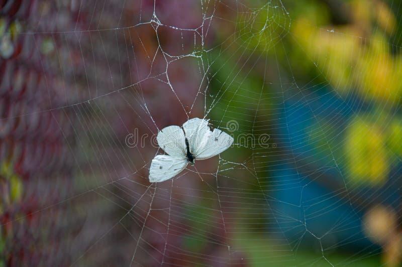 Pieris Brassicae di farfalla bianca intrappolata in una bobina con fondo di sfocatura Fragilità concetto di vita e di morte Belle fotografia stock