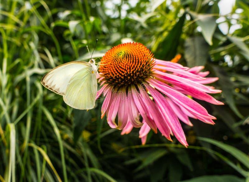 Pieris brassicae, Kohl-Weiß-Schmetterling auf Blume stockfoto