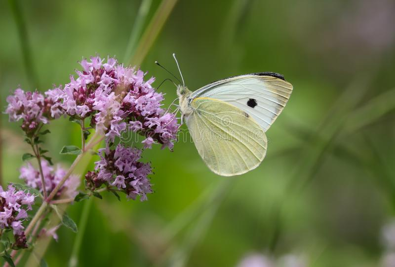 Pieris brassicae, the large white, also called cabbage butterfly, cabbage white, cabbage moth royalty free stock images