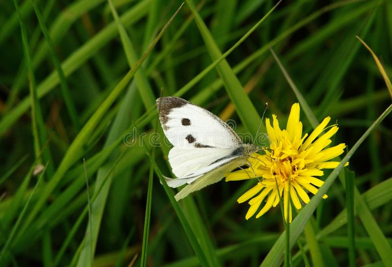 Pieris brassicae or Large white butterfly. stock image