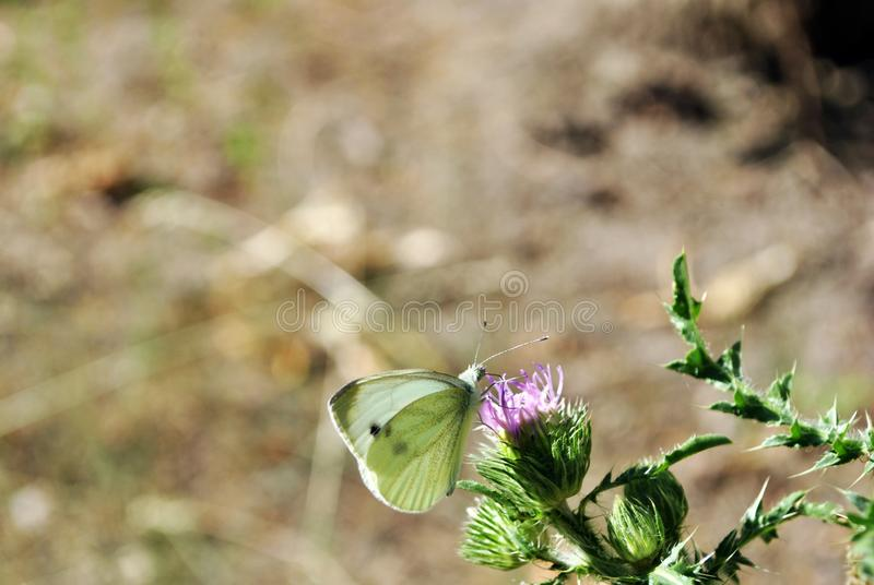 Pieris brassicae the large white, cabbage butterfly or moth sitting on purple milk thistle flower, close up macro detail. On soft blurry bokeh background stock photos