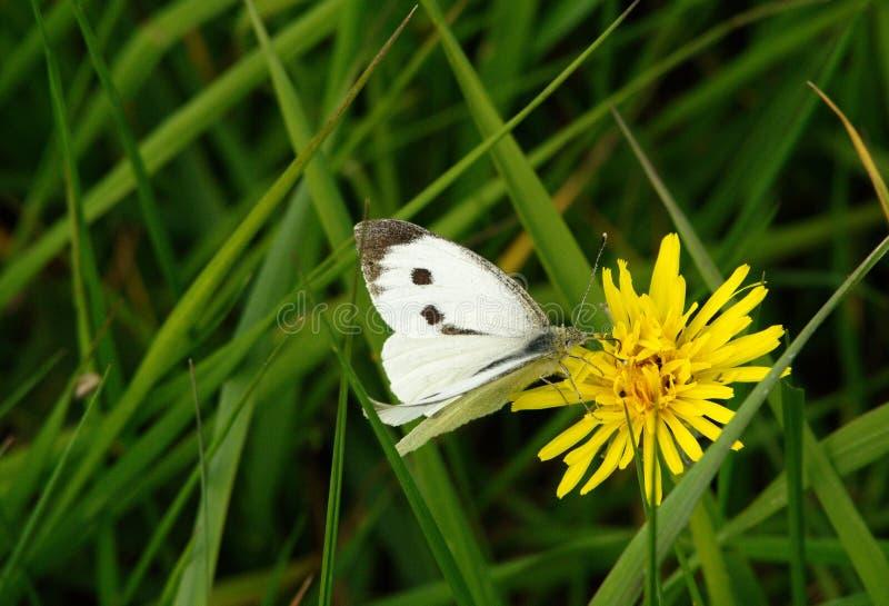 Pieris brassicae oder großer weißer Schmetterling stockbild