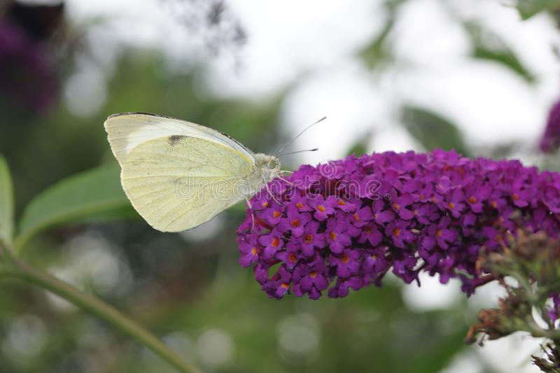 Pieris Brassicae White Butterfly royalty free stock photos